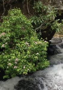 Mountain Laurel over Duke's Creek Falls